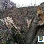 Во Львове незаконно срезали 100 деревьев