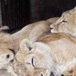 Львиц из Самбора следующей неделе отправят в Африку