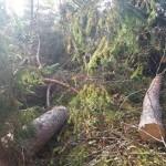 Галсельлес провел масштабную незаконную вырубку леса (фото, видео)