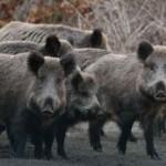 Жителей Львовщины предупреждают о диких кабанов, которые могут нападать на людей