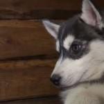 Во Львове спасли первого собаку благодаря банка крови для животных