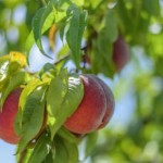Садовник со Львовщины выращивает персики