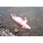 На Львовщине в реке нашли трупы свиней