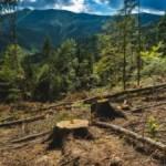 Верховная Рада запретила вырубки леса в Карпатах
